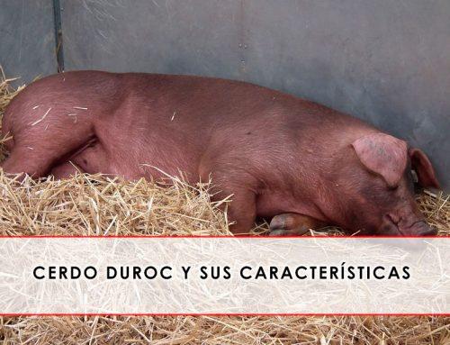 Cerdo Duroc y sus características