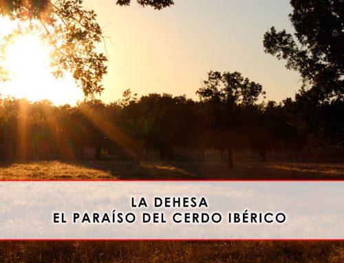 La dehesa: el paraíso del cerdo ibérico