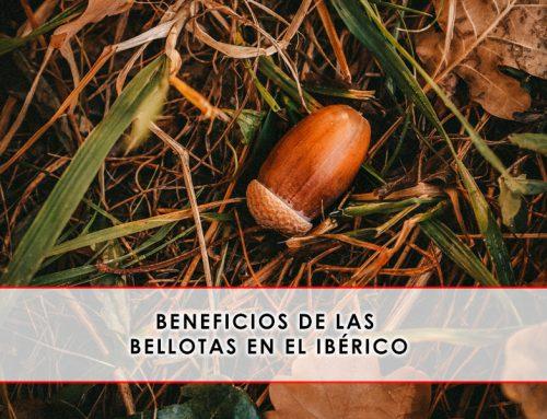 Beneficios de las bellotas en el ibérico