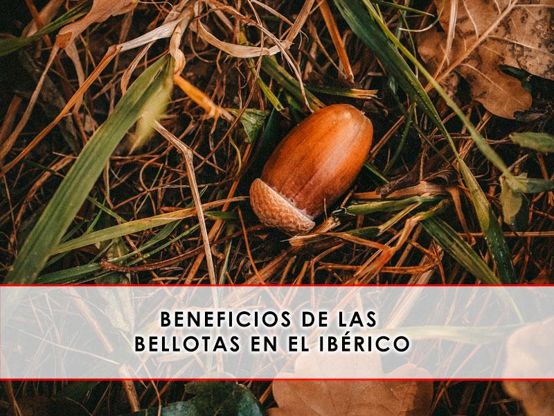 Beneficios de las bellotas en el ibérico - Grupo Julián Becerro
